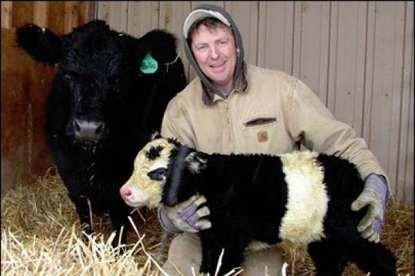 Rare 'panda cow' born in northern Colorado