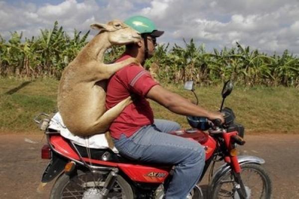 Man carries lamb on motorcycle