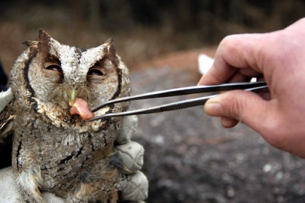 Feeding an owl