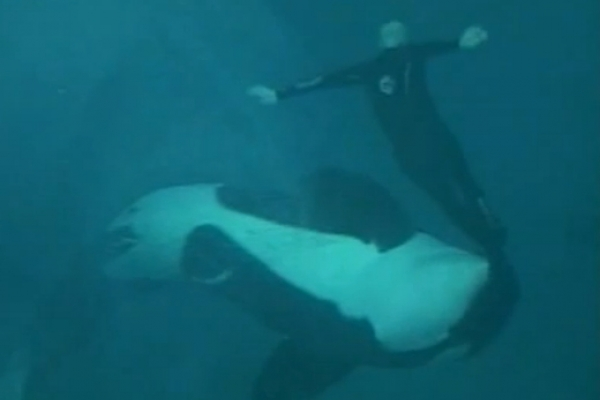 Killer whale drags trainer under water for 15 minutes