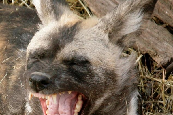 African dogs kill child at Pittsburgh zoo