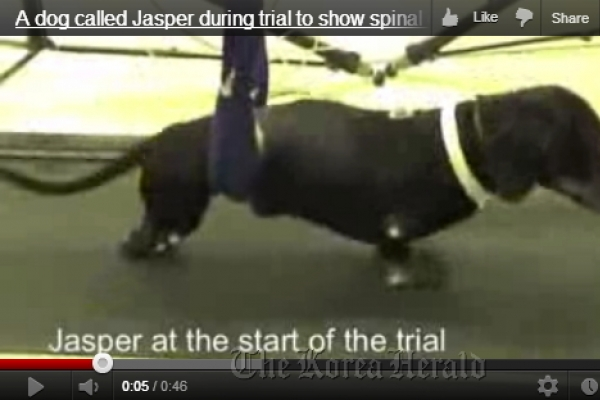 Paralyzed dogs walk after cell transplant