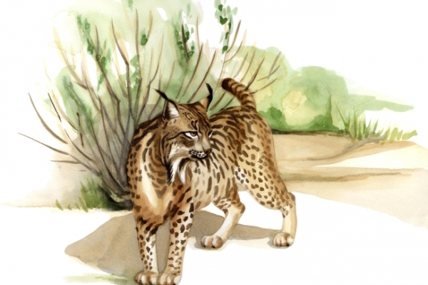 Climate change to wipe out rarest cat