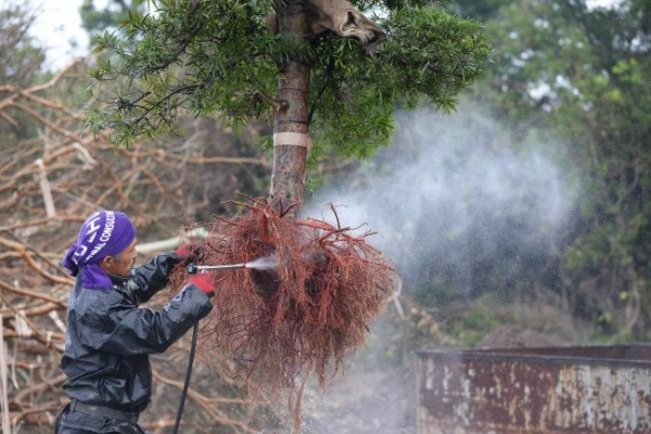 Japan's 'Tree Town' sculptors make living art