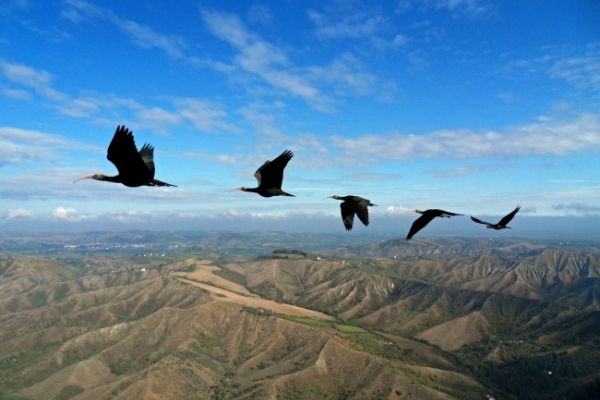 Birds sync wing beats in formation