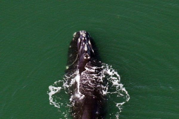 More whales being hit by ships along U.S. coast