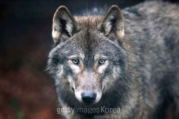 an introduction to wolves and their habitat The wolves commence their hunt by wading through their territory until they come across an animal for prey the wolf will approach the prey in the opposite direction of the wind to avoid the animal from detecting the wolf scent and running away.