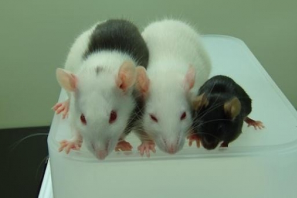Scientists discover method to identify 'gambling rats'