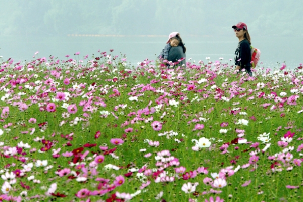[Photo News] Cosmos in full bloom