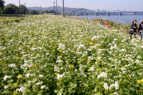 [Photo News] Han River covered with buckwheat flowers