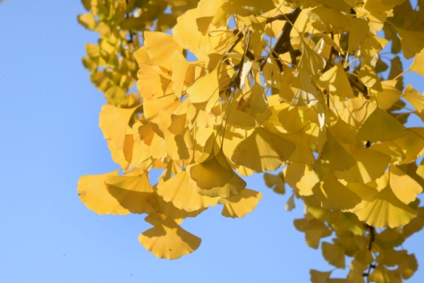 [Photo News] Brilliant shades of 'stinky' ginkgo trees