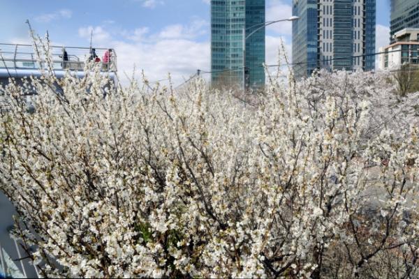 [Photo News] Cherry blossom season has arrived