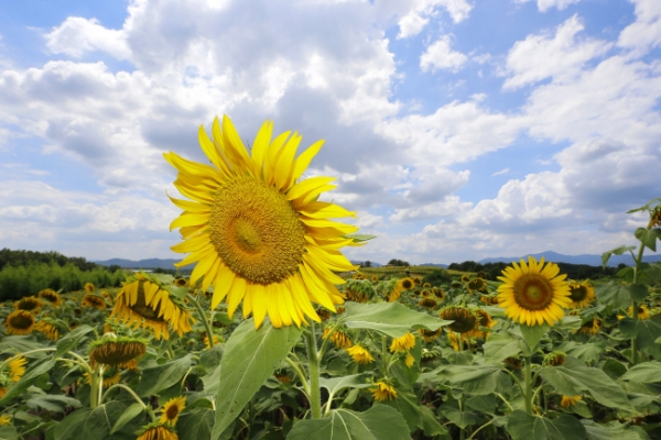 [Photo News] Sea of giant, yellow sunflowers at Haman county