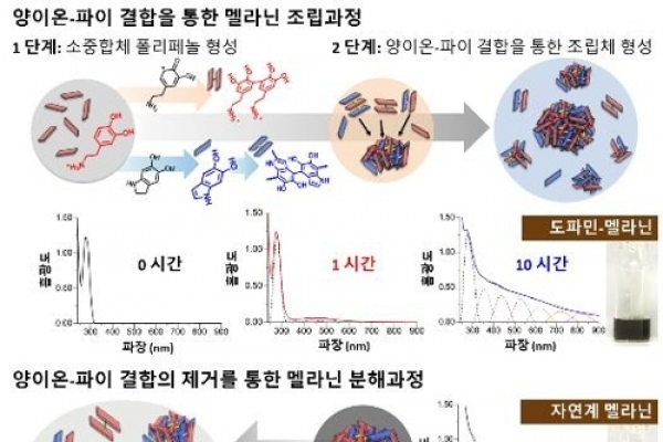 '하얀피부의 비밀' 멜라닌 형성·분해과정 찾았다