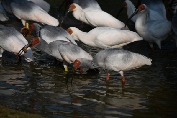 [Newsmaker] Crested ibises return to wild in S. Korea 40 years after going extinct