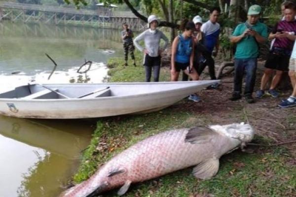 말레이 코타키나발루 인근 호수 '108㎏ 물고기' 발견