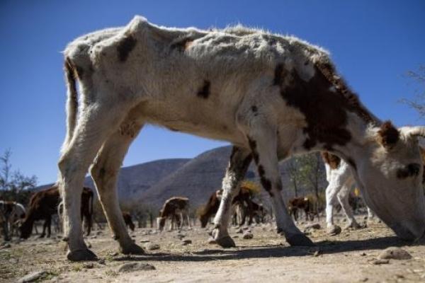 칠레 60년 만의 최악 가뭄…죽어 나간 가축만 3만 마리