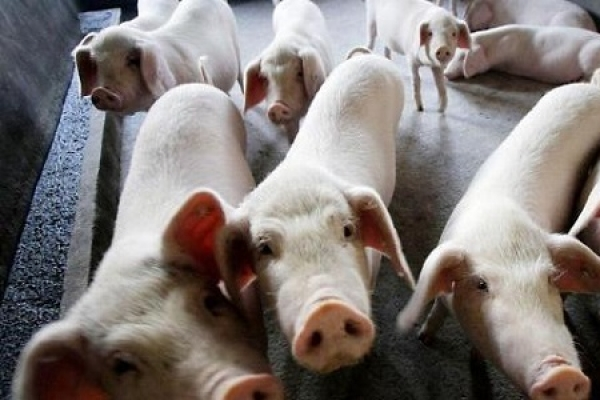 Another suspected African swine fever case reported in S. Korea