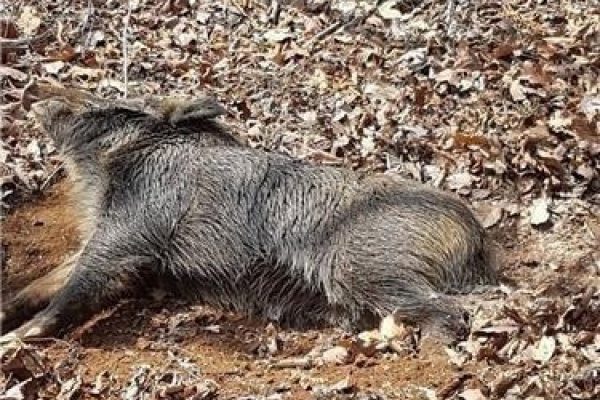 2 wild boars found dead with traces of African swine fever