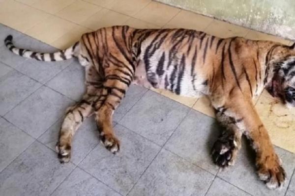 사람 4명 해친 호랑이, 말레이 구조센터서 21년 살고 자연사