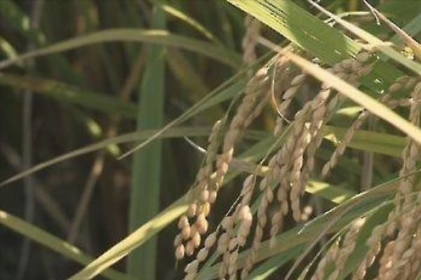 WTO to allow S. Korea to keep current tariff rate on imported rice
