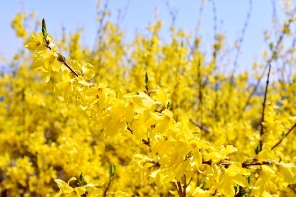 [Eye Plus] Let's enjoy yellow forsythia blossoms from afar