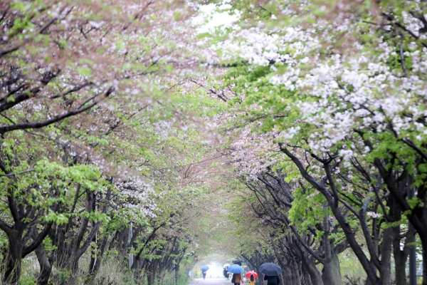 [Photo News] Cherry blossom ending