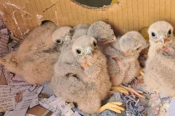 [Photo News] Kestrel chicks hatch in apartment balcony