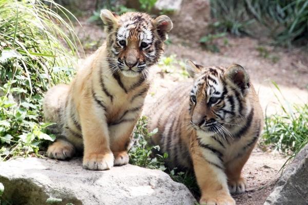 [Photo News] Tiger family at S. Korean amusement park