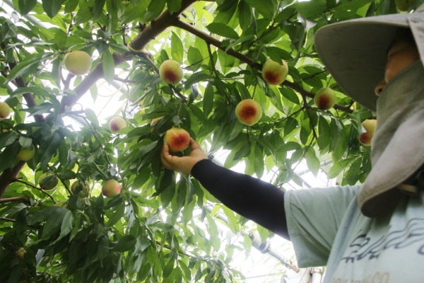 [Photo News] Harvesting peaches in Wansan