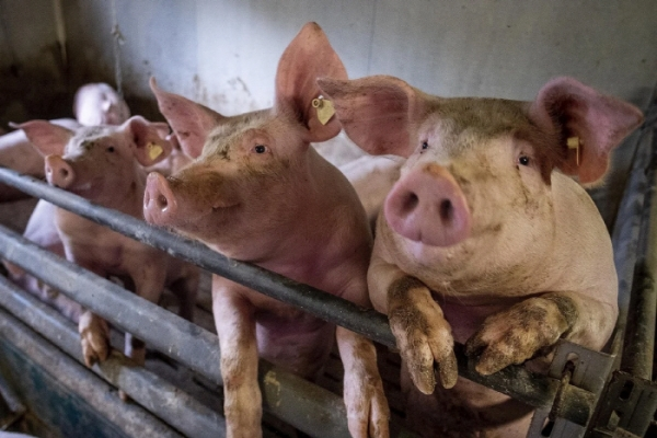 S. Korea to closely monitor new swine flu with pandemic potential