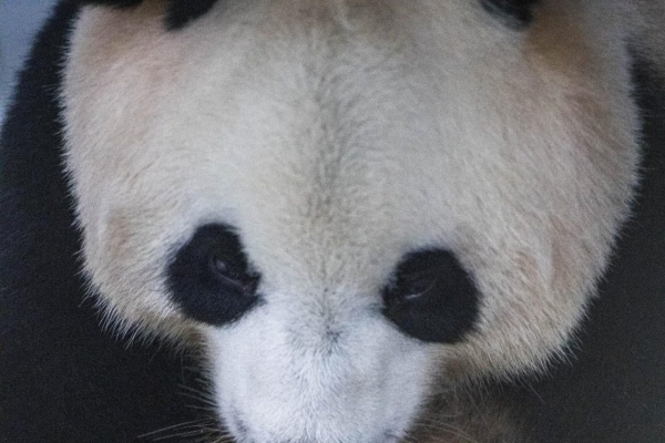 50-day-old giant panda cub 10 times heavier than birth weight