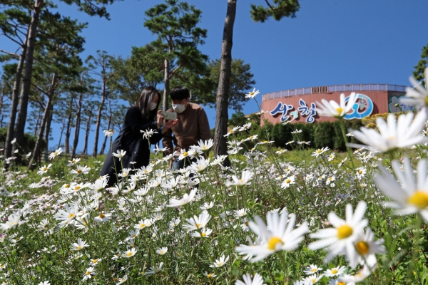 [Photo News] Korean daisies bloom in cool weather