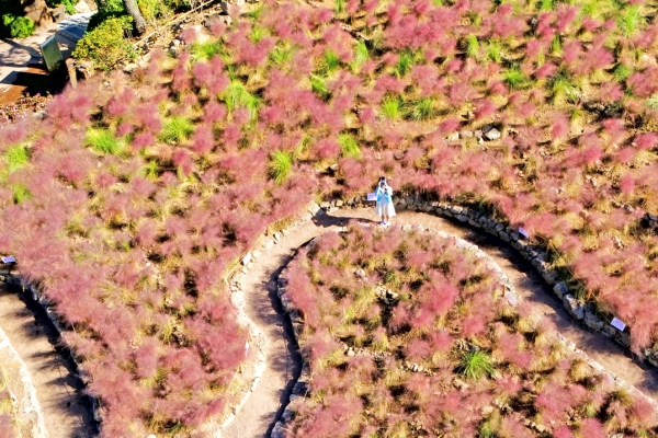 [Photo News] Pink spreads through Jeju Island as autumn draws near