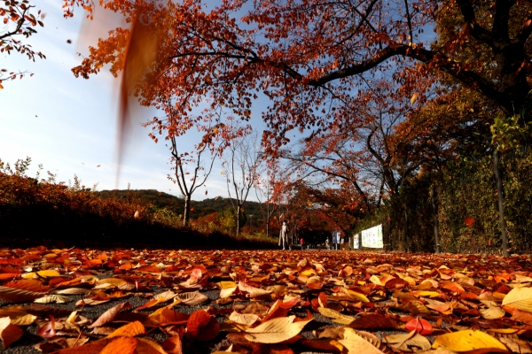 [Photo News] Autumn covers Seoul Grand Park in colorful leaves