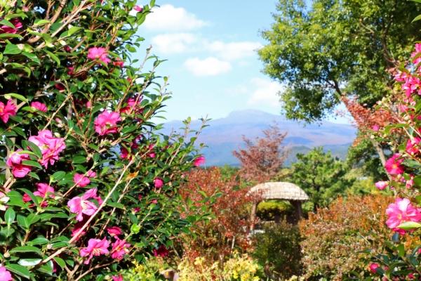 [Photo News] Camellia blossoms in the bleak season
