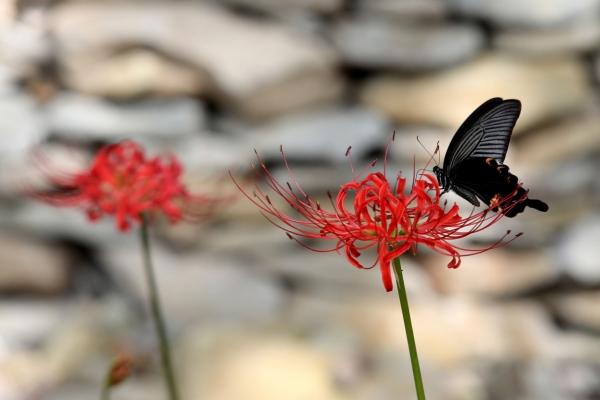 [Photo News] Swallowtail Butterflies Welcome Autumn