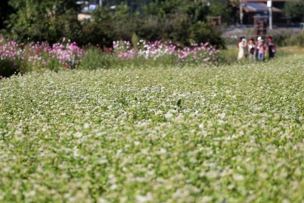 [Photo News] Blooming buckwheat flowers in Bongpyeong