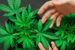 KIC's investment in marijuana producers not questionable, says experts