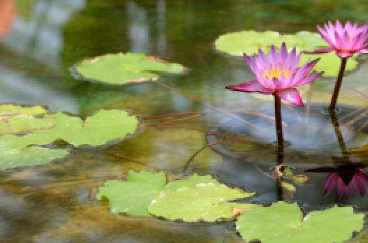 Lotus flower, miracle of unwavering purity