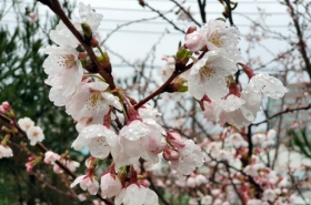 Seoul observes record early cherry blooming