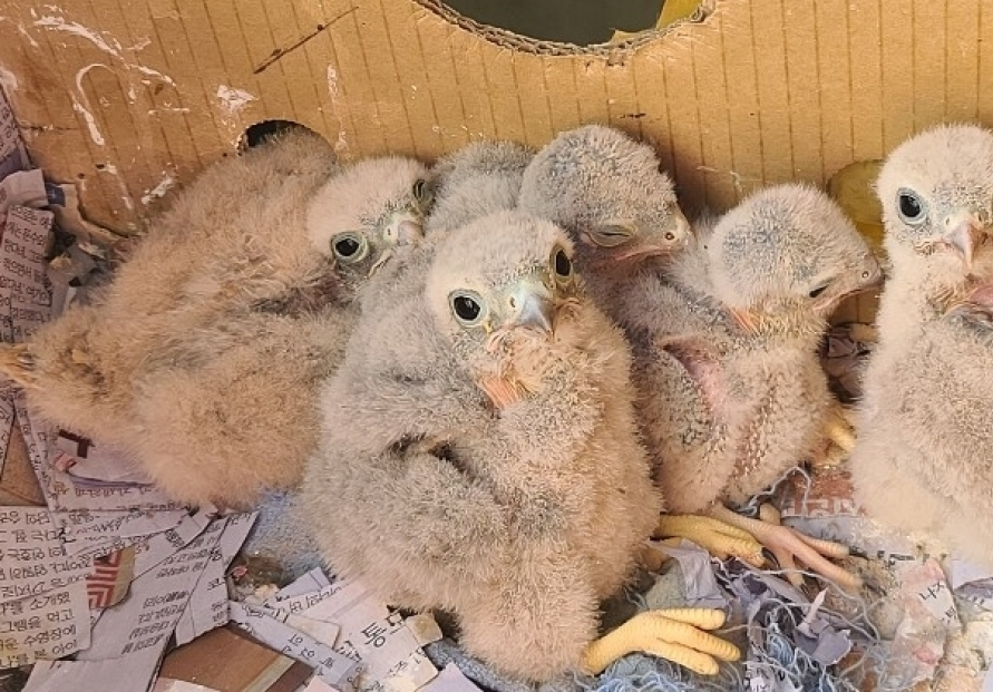 [Photo News] Kestrel chicks hatch in apartment balcony