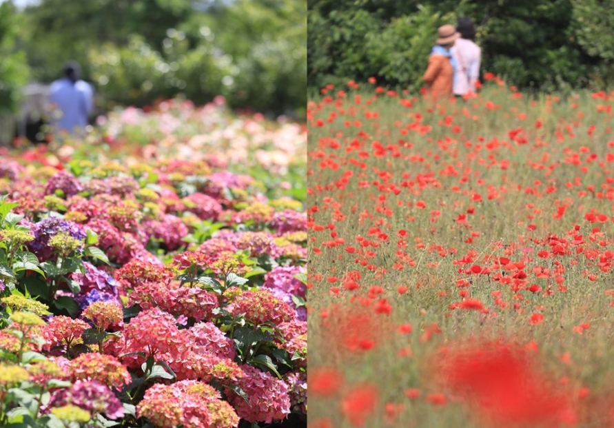[Photo News] Spring blooms in Jeju