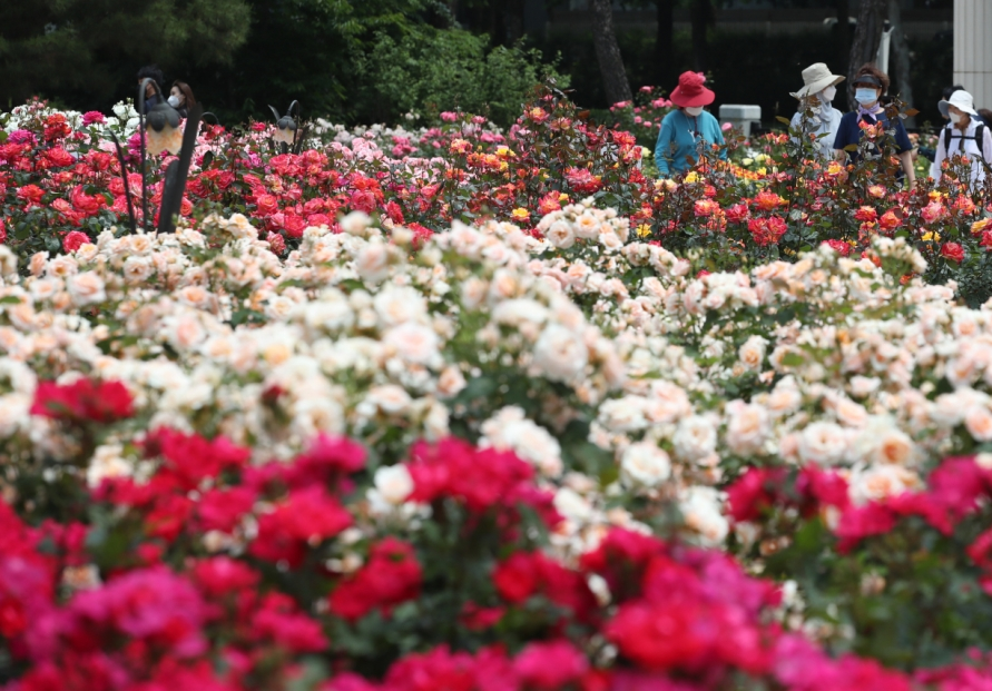 [Photo News] May roses bloom