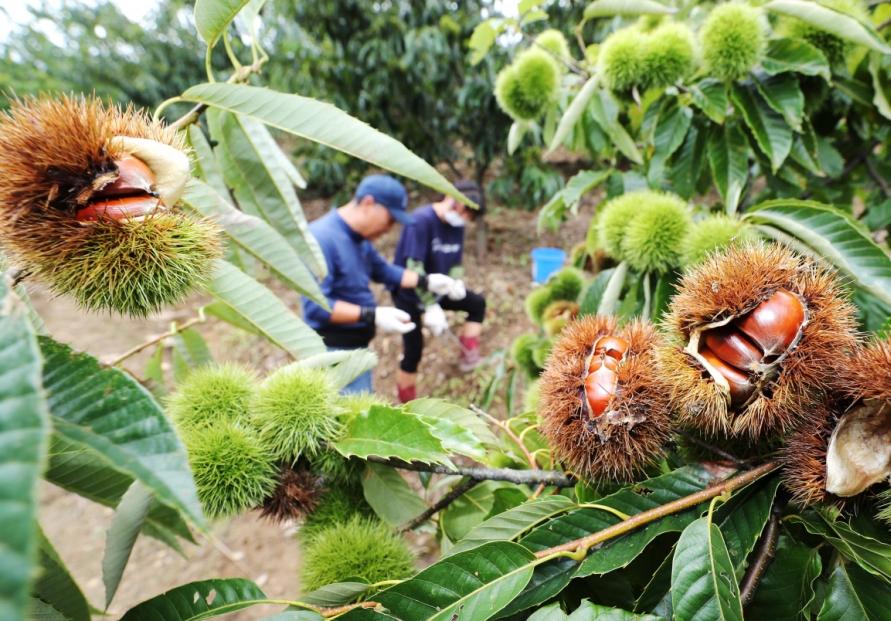 [Photo News] Chestnut picking in Gongju