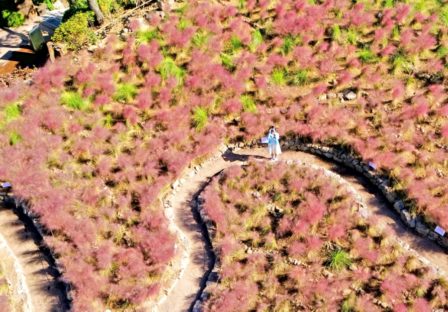 Pink spreads through Jeju Island as autumn draws near