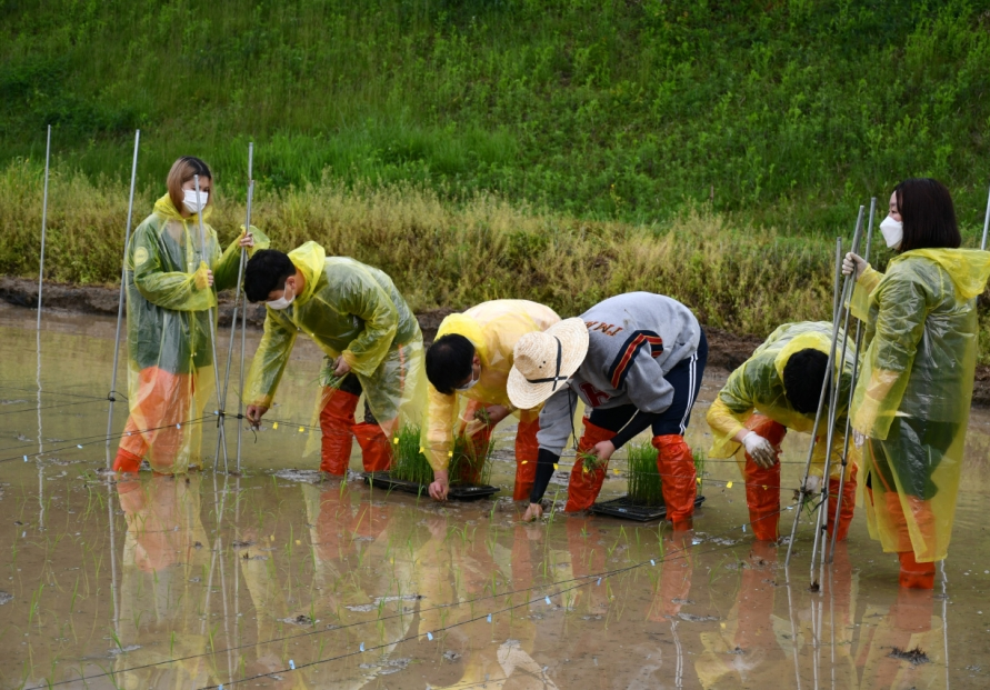 Spring rice-planting season begins in Korea