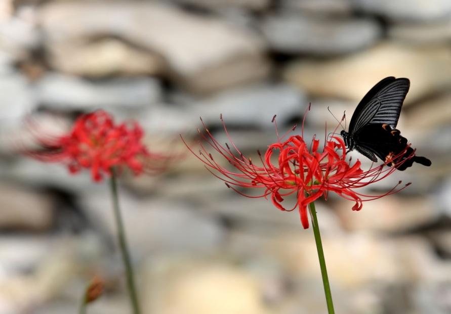 Swallowtail Butterflies Welcome Autumn