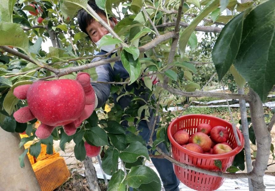 Preparation of Apples for Chuseok