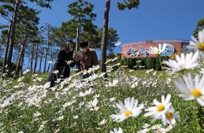 Korean daisies bloom in cool weather